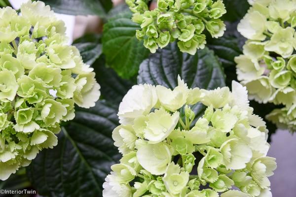 witte hortensia dichtbij