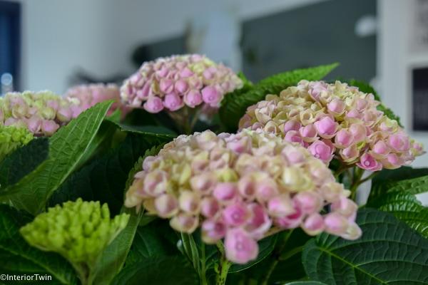 hortensia close up