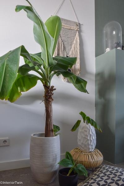 stekken bananenplant uitleg
