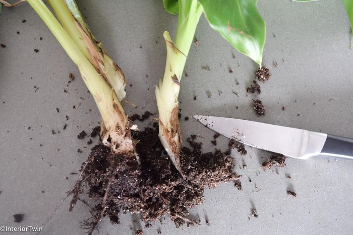 voorbeeld bananenplant stekje afsnijden