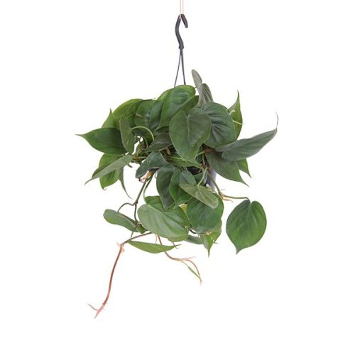 philodendron-scandens_15
