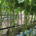 オクラの栽培。畑見学。オクラの食べ方。