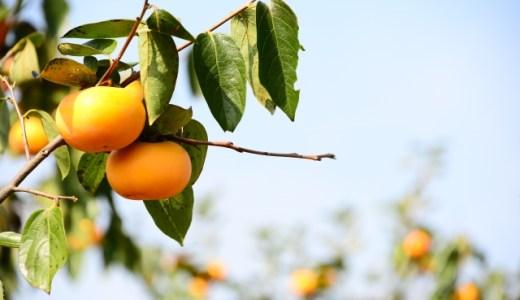 あたなの好きな柿が見つかるかも!?3種の柿の食べ比べ(筆柿、太秋柿、富有柿)