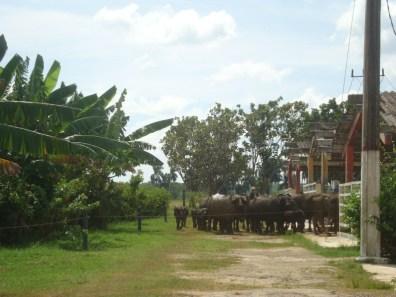 Cuban buffaloes at the ICA dairy farm - Cuba