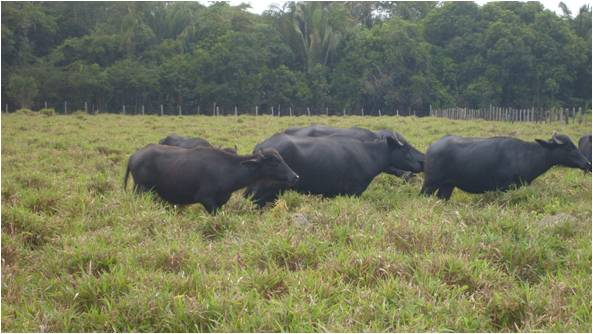 buffaloes in amazonian pastures