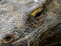 Komodo close up