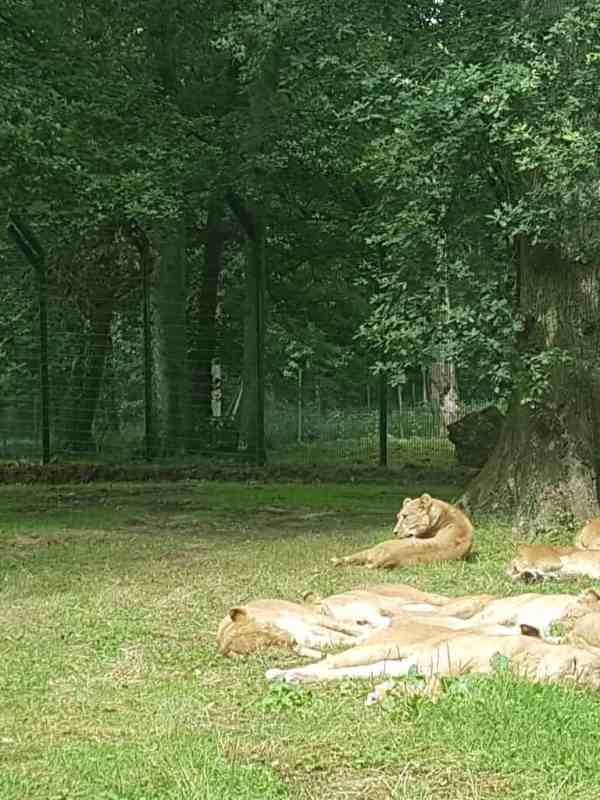 Zaun fencing provides security for big cats at Longleat Safari Park