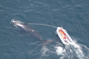 Woods Hole Oceanographic Institution (WHOI) researchers tag a North Atlantic right whale. Photo by Mark Baumgartner