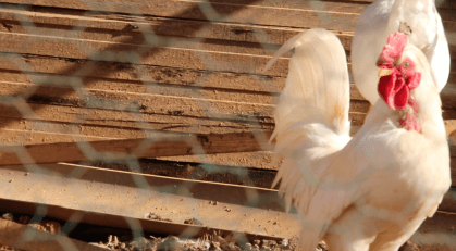Choi's chickens.