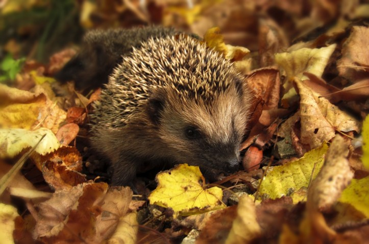 Hedgehog in the fall leaves. This image will help students understand the animal described in the reading passage.
