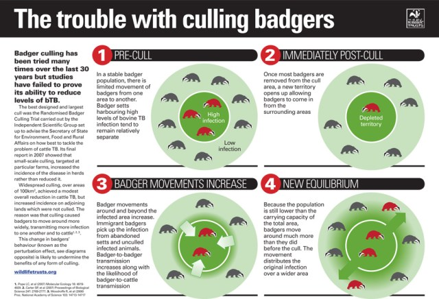 Impacts of a badger cull-2