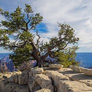 600-Year-Old Juniper