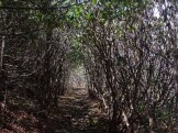 Rhododendron canopy