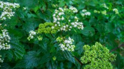 Angelica and snakeroot