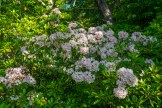 Mountain laurel cluster