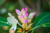 Rosebay rhododendron buds