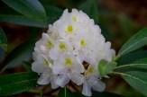 Rosebay full bloom