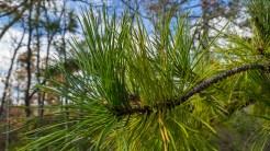Long leaf pine