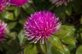 Globe Amaranth close-up