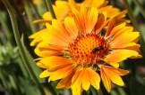 Coreopsis closeup