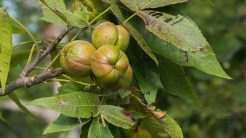 Ripening hickory nuts
