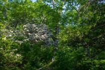 White mountain laurel