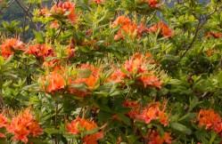 Flame Azalea close-up