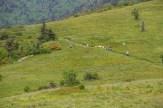 Goats descending Round Bald