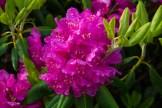 Catawba rhododendron blossom