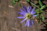 Lone aster