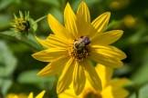 Bumble Bee on Rudbeckia