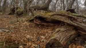 Horizontal oak