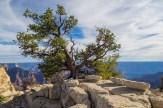 600 year old juniper