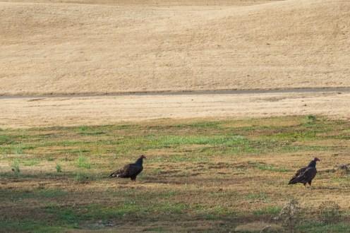 Buzzards on the golf course