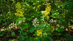 Goldenrod and snakeroot