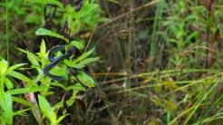 Immature black snake