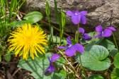 Violets and dandelion