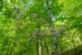 Roseshell azalea