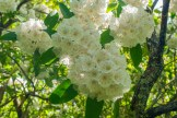 Mountain laurel on the A.T.