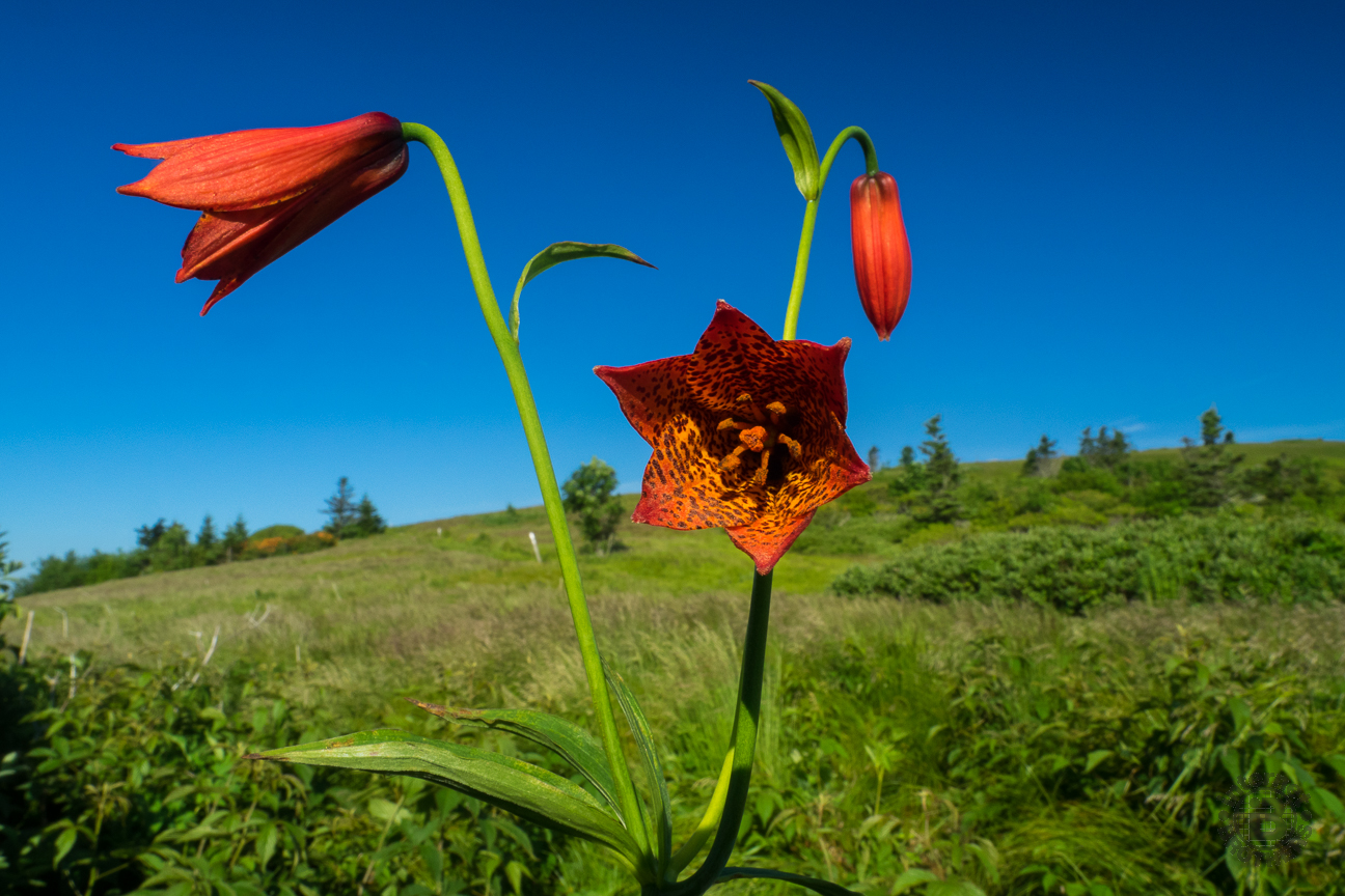 I've been to Roan Highlands for the June flowering three times now. This was my first Grays Lily. I was treated to another before the day was through.