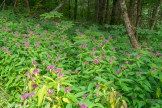 Bee balm lines the road