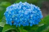 Bees love hydrangea