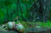 Unusually green acorns