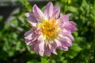 Lilac and yellow dahlia