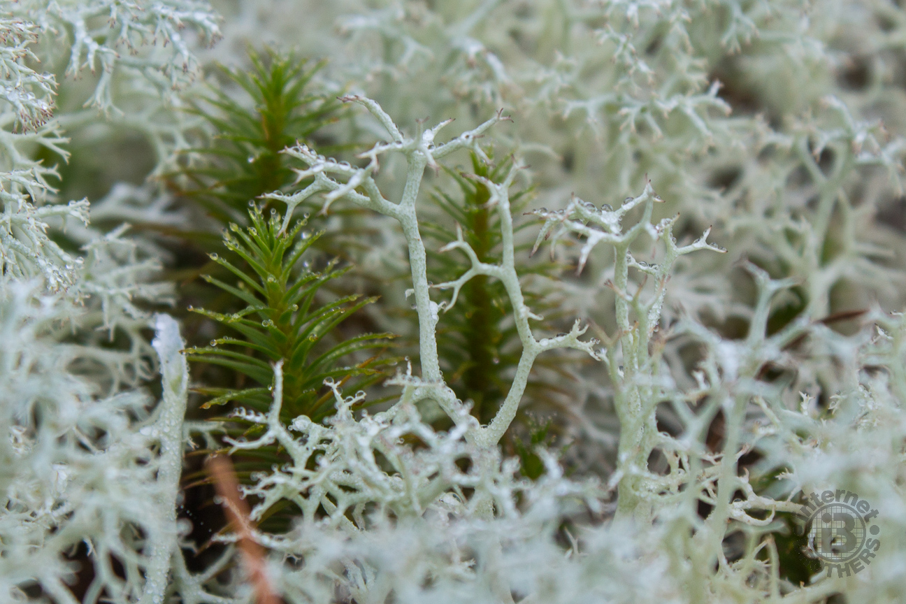 Reindeer lichen  is light mint in color, growing in open environments like the plutons of WNC. It is primarily found in alpine tundra, and is grazed by caribou, hence the name.  Reindeer lichen is slow growing, and may take decades to return once grazed, burned, or trampled. Click, and look closely at the water droplets on the intricate branches.