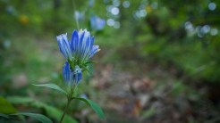 One of hundreds of gentian