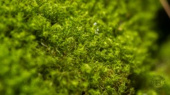 Curly-cue moss