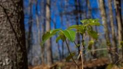 Dog hobble leaves