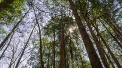 Eastern hemlock grove