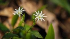 Star chickweed